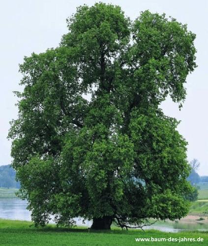 Baum des Jahres 2019: Flatter Ulme