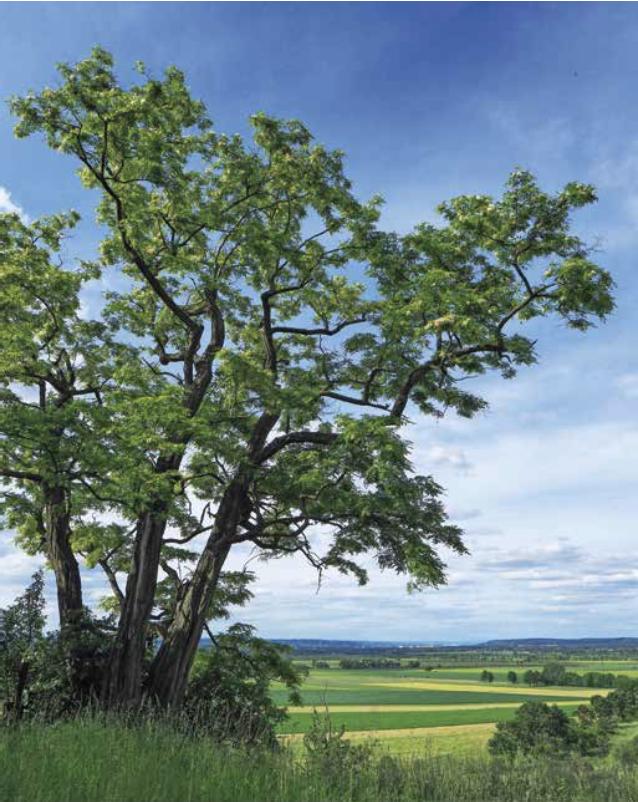 Baum des Jahres 2020: Rote Rubinie